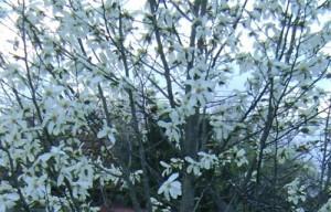 magnolie_crop_foto_Gabriela Gentiana Groza