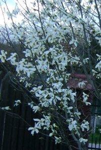 magnolie_detaliu_foto_Gabriela Gentiana Groza