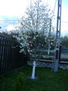 magnolie_foto_Gabriela Gentiana Groza