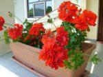 Flori roșii la geam_foto_Gabriela Gentiana Groza