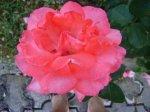trandafir_foto_Gabriela Gentiana Groza