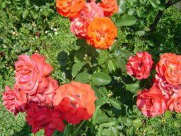 trandafiri_foto_Gabriela Gentiana Groza