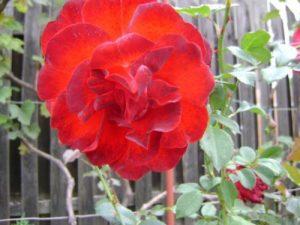 Trandafir_foto_Gentiana Groza_1