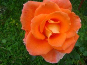 Trandafir_foto_Gentiana Groza_2