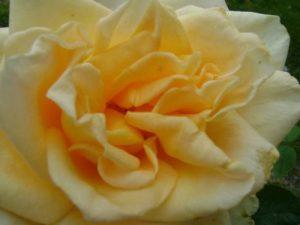 Trandafir_foto_Gentiana Groza_3