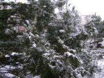 brad_iarna_foto1_Gentiana Groza