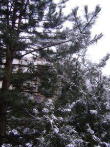 brad_iarna_foto2_Gentiana Groza