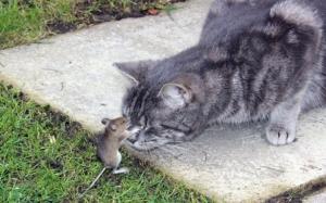 Gentiana soarece pisica